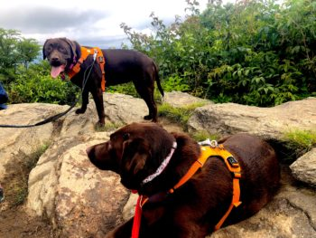 two chocolate labs at Sam Knob Trail, Pisgah National Forest